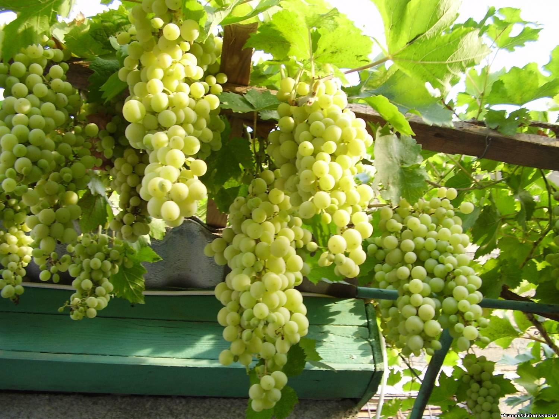 Цветок девичьи виноград фото
